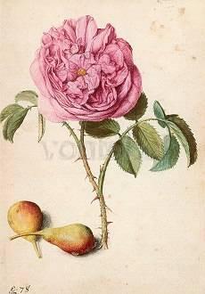 Georg Flegel, Batavische Rose und zwei Birnen