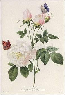 Pierre-Joseph Redouté, Rosa Bengale Thé hymenée