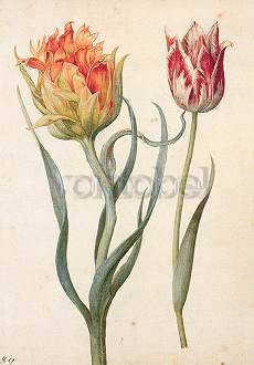 Georg Flegel, Zwei Tulpen