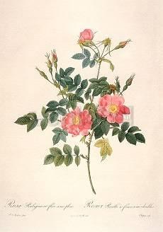 Pierre-Joseph Redouté, Rosa Rubiginosa flore semipleno (1817)