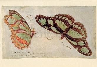 Maria Sibylla Merian, Zwei Schmetterlinge