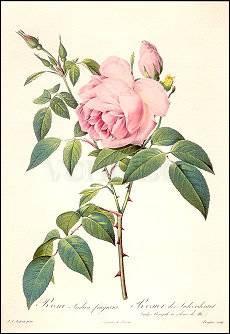 Pierre-Joseph Redouté, Rosa Indica fragrans (1817)
