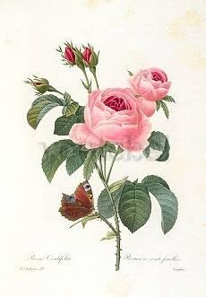 Pierre-Joseph Redouté, Rosa centifolia (1835)