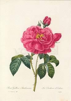 Pierre-Joseph Redouté, Rosa Gallica Aurelianensis (1835)