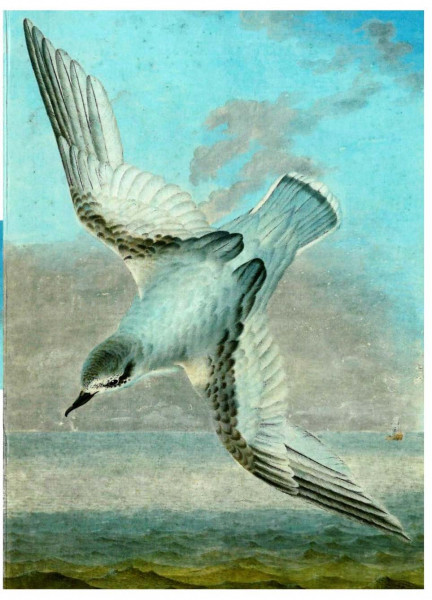 Georg Forster, Blauer Sturmvogel