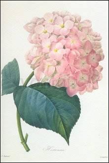 Pierre-Joseph Redouté, Hortensia (c. 1827-33)